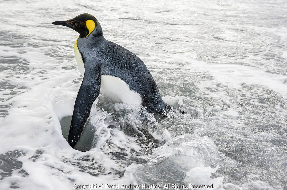 King Penguin (Aptenodytes patagonicus) in the surf, Salisbury Plain, South Georgia Island, South Atlantic Ocean