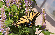 Close-up of western tiger swallowtail butterfly on Korean hyssop