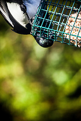 A magpie feeding in the garden.