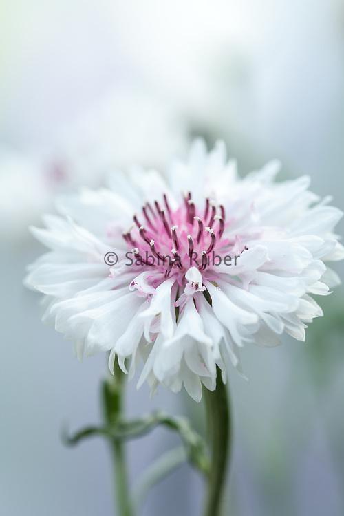 Centaurea cyanus 'Classic Romantic' - cornflower