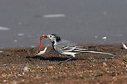 White Wagtail (Motacilla alba) with a dragonfly in its bill