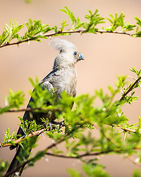 """Grey Go-Away Bird,  Pilanesberg National Park. Grey Go-Away Bird is a member of the turaco family. It is found in Southern Africa and is one of the least colorful turaco's, many of which are as colorful as parrots. The Grey Go-Away is named for its call which sounds like """"Go Away""""."""