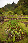 Taro, Limahuli Garden and Preserve, Haena, Kauai, Hawaii