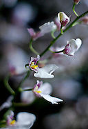 Tiny delicate white and pink fuchsia orchid blooms seem to dance along an arcing green stem