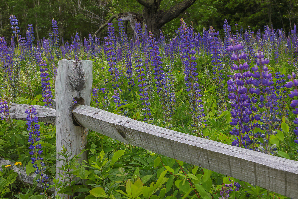 New England photography of lupine wildflowers in Sugar Hill of the New Hampshire White Mountains.<br /> <br /> Beautiful New Hampshire fine art photography of blooming lupine wildflowers in Sugar Hill are available as museum quality photography prints, canvas prints, acrylic prints, wood prints or metal prints. Fine art prints may be framed and matted to the individual liking and interior design decorating needs:<br /> <br /> https://juergen-roth.pixels.com/featured/lupine-wildflowers-in-sugar-hill-new-hampshire-juergen-roth.html<br /> <br /> Good light and happy photo making!<br /> <br /> My best,<br /> <br /> Juergen