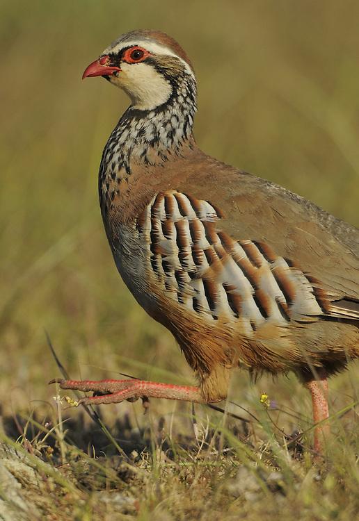 Red-legged partridge, Alectoris rufa,  La Serena, Extremadura, Spain