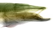 This X-ray illustration of a Muskellunge (Esox masquinongy)