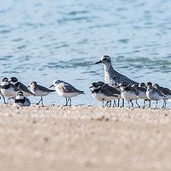 """""""Batuiruçu-de-axila-preta (Pluvialis squatarola) fotografado na Ilha de Coroa Vermelha, que faz parte do Arquipélago de Abrolhos, na Bahia -  Sudeste do Brasil. Oceano Atlântico. Registro feito em 2016.<br /> <br /> <br /> <br /> ENGLISH: Black-bellied Plover photographed in """"""""Coroa Vermelha"""""""" Island, which is part of the Abrolhos Archipelago in Bahia - Brazil. Atlântic Ocean. Picture made in 2016."""""""