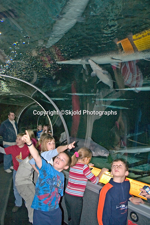 Excited school children on excursion pointing at some rather  large Longnose Gar Lepisosteus osseus found in the warmer rivers of SE Minnesota, viewed in the 300 foot-long curved tunnel of Underwater Adventures, the worlds largest underground aquarium, under The Mall of America, the largest indoor retail and entertainment complex in America.  Bloomington Minnesota USA