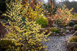 Witch hazels and conifers in the front garden with Hamamelis x intermedia 'Pallida' AGM. syn. Hamamelis mollis 'Pallida' in the foreground