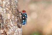 Africa, Tanzania, Lake Manyara National Park blue bottle fly or bottlebee (Calliphora vomitoria)