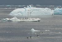 Adelie Penguins (Pygoscelis adeliae) on iceberg in the Fridtjof Sound, Antarctic Peninsula.