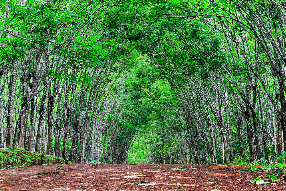 Tropical Archway: Lush green rubber trees form an arch over a dirt road that cuts through a plantation on Ko Lanta – Thailand.