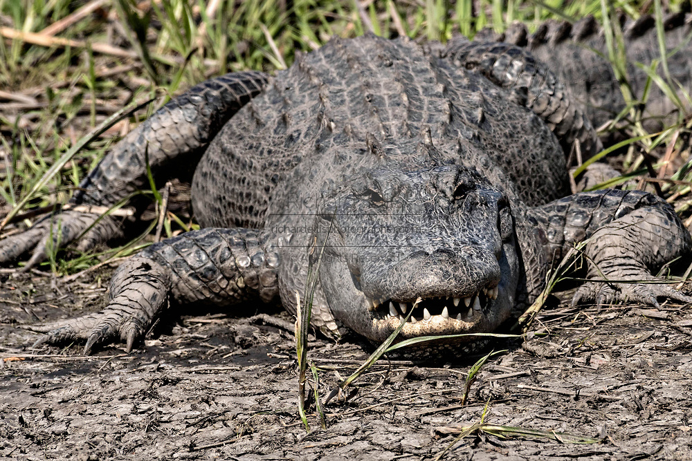 A large American alligator shows teeth in an threatening display at the Donnelley Wildlife Management Area March 11, 2017 in Green Pond, South Carolina. The preserve is part of the larger ACE Basin nature refugee, one of the largest undeveloped estuaries along the Atlantic Coast of the United States.