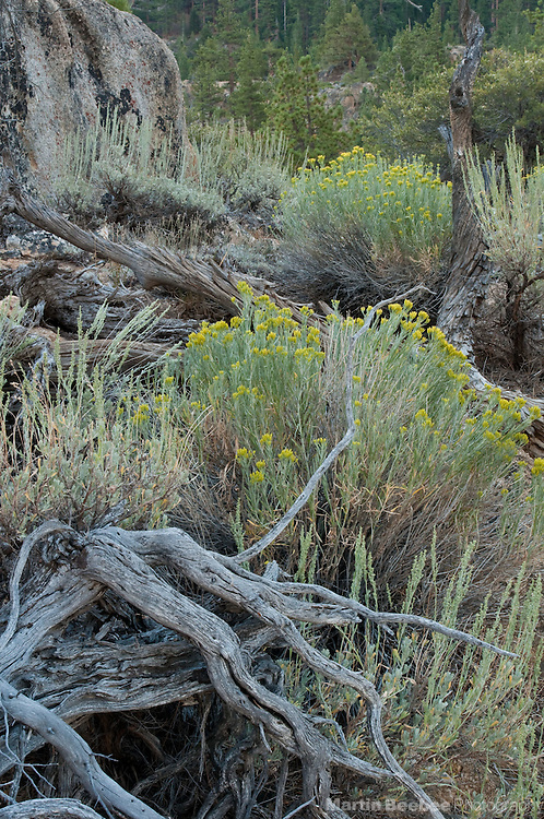 Rubber rabbitbrush (Chrysothamnus nauseous) blooms amid sagbrush in the Eastern Sierra Nevada, Toiyabe National Forest, California