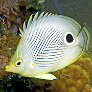 Caribbean Butterflyfishes