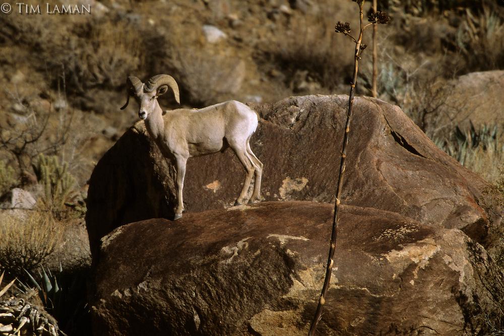 A male desert bighorn sheep (Ovis canadensis nelsoni) in Henderson Canyon.  Anza-Borrego Desert State Park, California.  Mar 2002.
