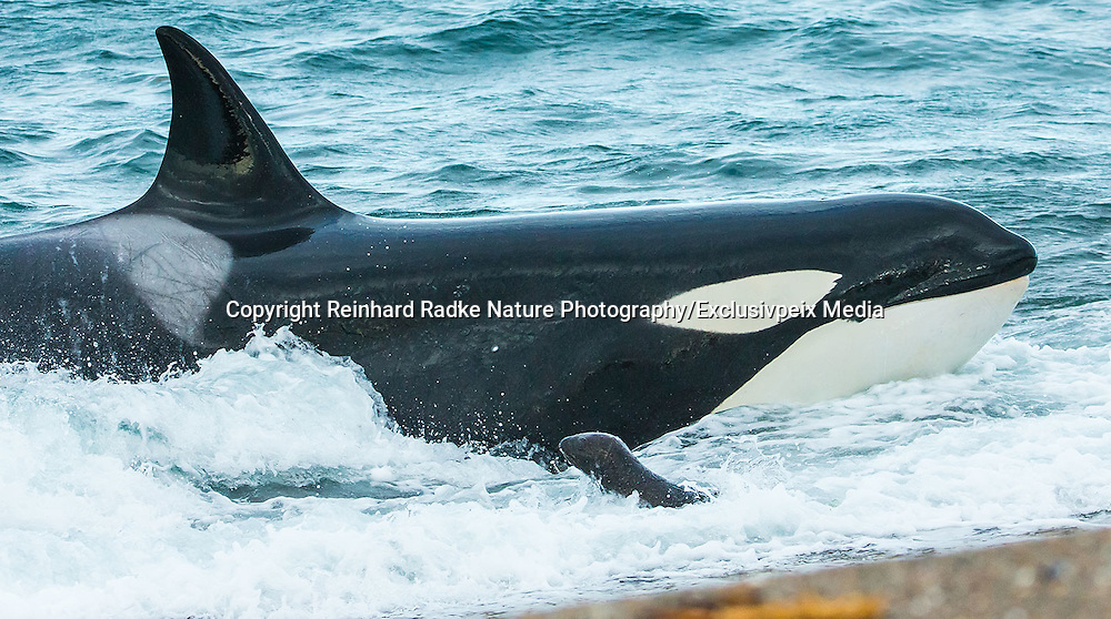 "STUNNING IMAGES CAPTURE ORCAS AS THEY DRIVE UP ON TO BEACH TO HUNT FOR SEA LION'S<br /> <br />  The hunts were taken at Valdés peninsula, Punta Norte. There are some beaches at Valdés, where very few orca whales are adapted to ""voluntary beaching"" to get close enough to young sea lions, which play in the shallows. This is a dangerous undertaking for the whales, too. If they can't get back to deeper water they might die. Two incidents of a whale being saved by people occurred here. They spilled water over them while they were stuck, not to have them drying out. Next hightide freed them. At any given time there were less than 10 individuals capable of performing this art of hunting! Presently, this number might be a little higher. Voluntary beaching was recorded first in the seventies last century in that area. It is most probably the only area, where whales learned this technique. There are only few scattered records of this behavior from one place in the Indian Ocean, but that is not scientifically confirmed. So this is a very rare behavior in whales and it is a good example of the intelligent way these animals react to their environment.<br /> <br /> PHOTO SHOWS: It is a windy day and many breakers cover the sound of the young sea lions. So, many attacks failed that day because location of prey was difficult for the whales.<br /> ©Reinhard Radke Nature Photography/Exclusivpeix Media"