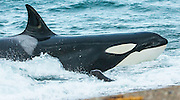 """STUNNING IMAGES CAPTURE ORCAS AS THEY DRIVE UP ON TO BEACH TO HUNT FOR SEA LION'S<br /> <br />  The hunts were taken at Valdés peninsula, Punta Norte. There are some beaches at Valdés, where very few orca whales are adapted to """"voluntary beaching"""" to get close enough to young sea lions, which play in the shallows. This is a dangerous undertaking for the whales, too. If they can't get back to deeper water they might die. Two incidents of a whale being saved by people occurred here. They spilled water over them while they were stuck, not to have them drying out. Next hightide freed them. At any given time there were less than 10 individuals capable of performing this art of hunting! Presently, this number might be a little higher. Voluntary beaching was recorded first in the seventies last century in that area. It is most probably the only area, where whales learned this technique. There are only few scattered records of this behavior from one place in the Indian Ocean, but that is not scientifically confirmed. So this is a very rare behavior in whales and it is a good example of the intelligent way these animals react to their environment.<br /> <br /> PHOTO SHOWS: It is a windy day and many breakers cover the sound of the young sea lions. So, many attacks failed that day because location of prey was difficult for the whales.<br /> ©Reinhard Radke Nature Photography/Exclusivpeix Media"""