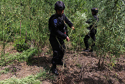 July 6, 2018 - Aceh Utara, Aceh, Indonesia - Police seen cutting down cannabis plants..National Narcotics Agency (BNN) and Indonesian Police officers destroyed cannabis plants in plantation fields of residents of Aceh Utara District, Aceh Province, Indonesia. During the operation BNN officers and the Indonesian Police succeeded in destroying 10.5 hectares of cannabis land in the settlement of Aceh Utara district, Aceh Province. Cannabis is categorized as a dangerous illegal substance in the same category as heroin and cocaine in Indonesia. (Credit Image: © Maskur Has/SOPA Images via ZUMA Wire)