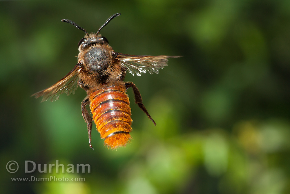 A African leaf cutter bee (Megachile spp) photographed with a high-speed camera in Matobo National Park, Zimbabwe. Tattered wings suggest advanced age. © Michael Durham / www.DurmPhoto.com