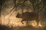 Buffalo Bull (Nelson)<br /> Exotic Game Breeders / Eden Farm<br /> Limpopo Province<br /> South Africa