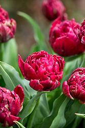 Tulipa 'Nachtwacht' syn. Night Watch