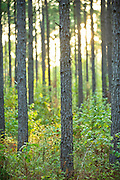 A forest of pine trees in Arkansas