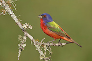 Painted Bunting - Passerina ciris - adult male