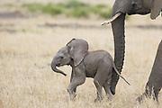 African Elephant<br /> Loxodonta africana<br /> Young calf (less than 3 weeks old)<br /> Masai Mara Conservancy, Kenya