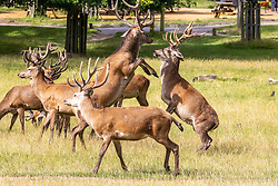 Licensed to London News Pictures. 06/08/202. London, UK. With the weather more like September, stags and fallow bucks clash with each other in Richmond Park, southwest London as wind and rain is set to hit the South East today. Yellow weather warnings for England have been issued for heavy rain, flooding, and high winds as the bad weather is expected to continue throughout the weekend. However brighter weather is forecast for next weeks with highs of 22c. Photo credit: Alex Lentati/LNP