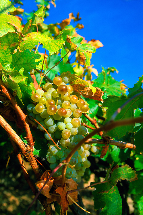 Wine grapes, Manarola, Cinque Terre, Italy