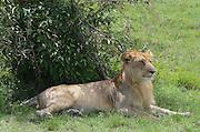 Kenya, Masai Mara, Young lion rests in the shade