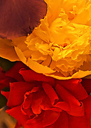 Floral background, abstract or arrangement, Peony and Rose and Iris
