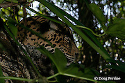 jaguar, Panthera onca (captive), resting, Belize, Central America