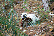 """Madagascar, Coquerel's sifaka (Propithecus verreauxi coquereli) in a tree. Coquerel's sifaka is a subspecies of Verreaux's sifaka. This lemur lives in the rainforests of Madagascar, feeding on fruits, flowers, bark and leaves. Its long tail helps it to balance when leaping from tree to tree. Coquerel's sifaka lives in small groups of between 5 and 10 individuals. The sifaka is named for its distinctive """"shi-fak"""" alarm call, which is used to warn members of the group when predators are near. Destruction of the forests of Madagascar means that Coquerel's lemur is becoming increasingly rare."""