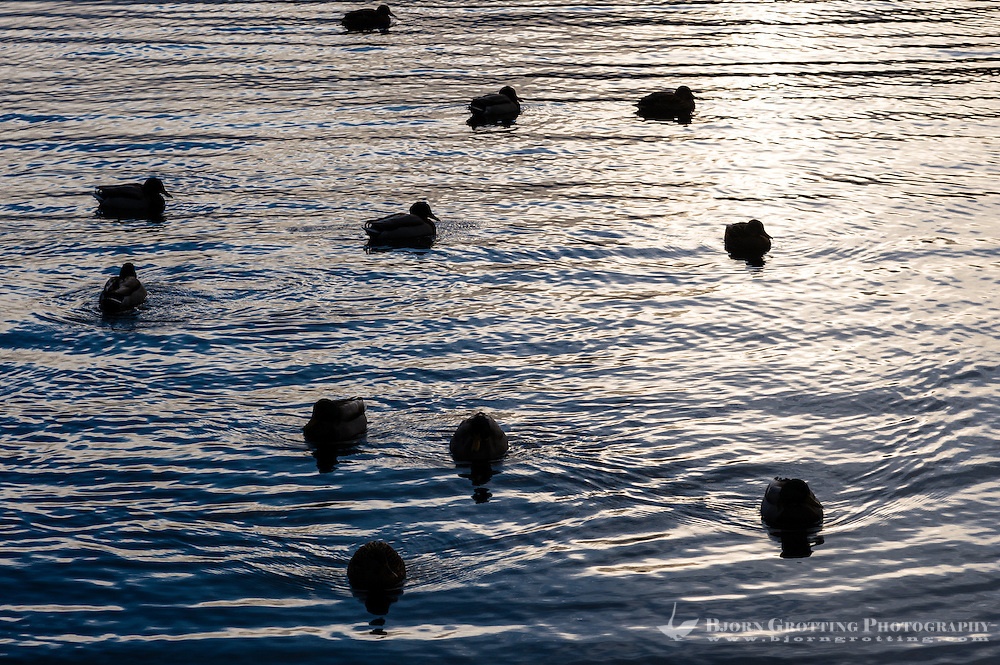 Norway, Stavanger. Mallards in sunset.