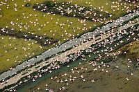 Flamingos (Phoenicopterus ruber) in Bahía de Cádiz Natural Park, Cádiz, Andalusia, Spain
