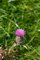 Pink thistle plant