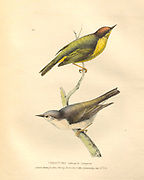 Vermivora (warblers) color plate of North American birds from Fauna boreali-americana; or, The zoology of the northern parts of British America, containing descriptions of the objects of natural history collected on the late northern land expeditions under command of Capt. Sir John Franklin by Richardson, John, Sir, 1787-1865 Published 1829