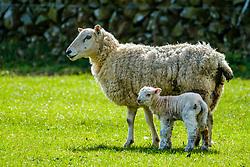 Sheep with lamb in spring<br /> <br /> (c) Andrew Wilson | Edinburgh Elite media