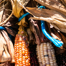 Multi-colored maize corn bunched and ready for sale along a country road.
