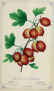 Houghton's Seedling from Dewey's Pocket Series ' The nurseryman's pocket specimen book : colored from nature : fruits, flowers, ornamental trees, shrubs, roses, &c by Dewey, D. M. (Dellon Marcus), 1819-1889, publisher; Mason, S.F Published in Rochester, NY by D.M. Dewey in 1872
