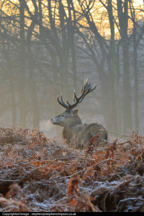 © Licensed to London News Pictures. 10/12/2013. Richmond, UK. A stag stands in frosty bracken. Sunrise and deer in Richmond Park, Surrey, this morning 10 December. Photo credit : Stephen Simpson/LNP