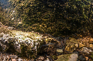 American Eel (glass Eels)<br /> <br /> Sean Landsman/Engbretson Underwater Photography