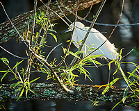 Snowy Egret hunting in Big Cypress Swamp. Image taken with a Nikon Df camera and 80-400 mm Vr lens (ISO 1600, 400 mm, f/5.6, 1/320 sec).
