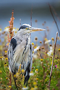 Grey Heron sitting in the grass | Gråhegre sitter i gresset