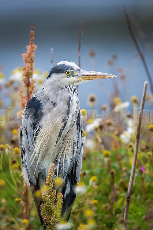 Grey Heron sitting in the grass   Gråhegre sitter i gresset