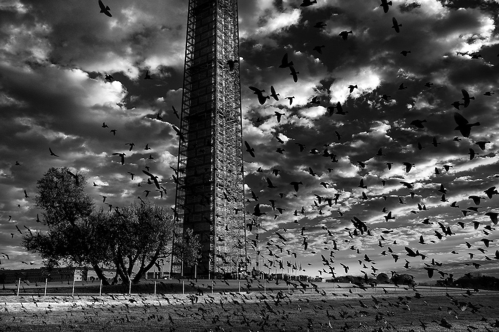 A large flock of birds swoop past the Washington Monument in the early morning.