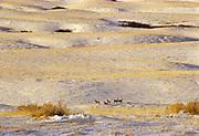 Mule deer (Odocoileus hemionus) <br />Maple Creek<br />Saskatchewan<br />Canada
